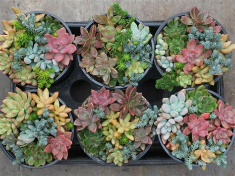 popular succulent plants 8 common succulent myths world of succulents