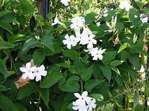 Zimmerpflanze Weiße Blüten : jasmin wei duftpflanze kletterpflanze k belpflanze ~ Markanthonyermac.com Haus und Dekorationen