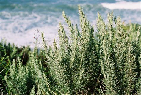 ca plants top 25 native california plants call realty best palos verdes homes