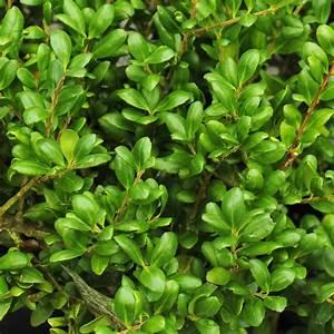 Ilex Crenata Krankheiten : list 7 trees and shrubs ~ Orissabook.com Haus und Dekorationen