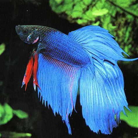blue siamese fighter aquatics   door