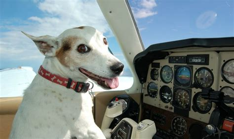 dogs cute fly animal airline