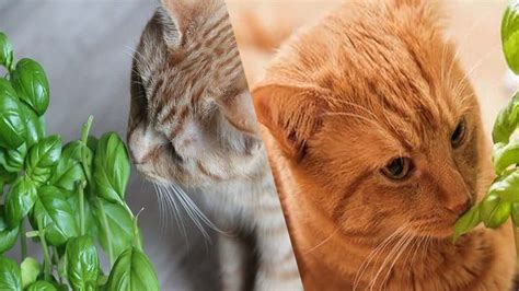Herbs toxic to cats