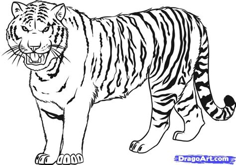 tiger outline drawing coloring home