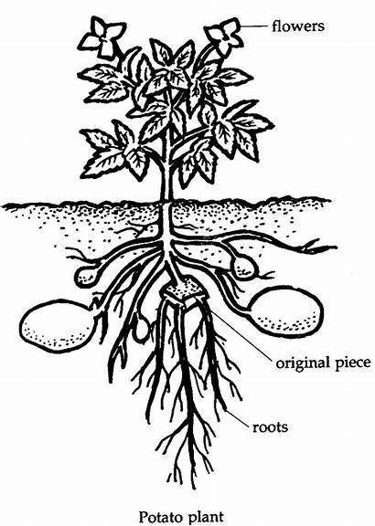 Coloring Plant Potato Clipart Eye Garden Activity