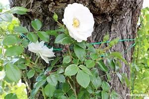 Rosen Schneiden Wann : rosen schneiden im fr hjahr herbst wann ist der beste zeitpunkt plantopedia ~ Eleganceandgraceweddings.com Haus und Dekorationen