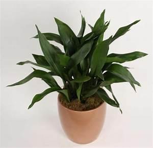 Pflanzen Die Nicht Viel Licht Brauchen : welche zimmerpflanzen brauchen wenig licht ~ Markanthonyermac.com Haus und Dekorationen