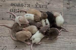 Wie Vertreibt Man Ratten : warum ratten im rudel gehalten werden sollten farbratten zucht karni mata ~ Eleganceandgraceweddings.com Haus und Dekorationen