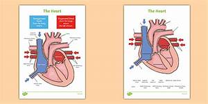 Heart Diagram Labelling Activity