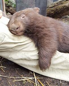 25+ best ideas about Wombat on Pinterest | Wombat pictures ...