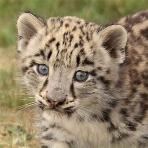 Cute Baby Snow Leopards | www.imgkid.com - The Image Kid ...