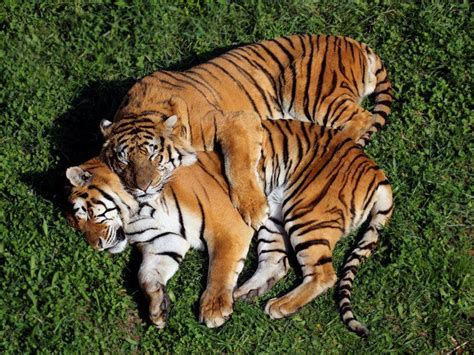 Best Tiger Images Pinterest Big Cats Wild Animals
