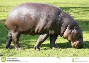 Pygmy Hippopotamus grazing stock photo. Image of body ...