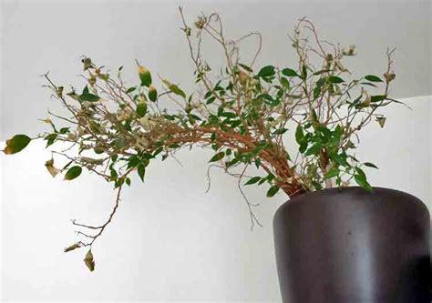 entretien olivier en pot perd ses feuilles mon ficus a perdu toutes ses feuilles de conception de maison