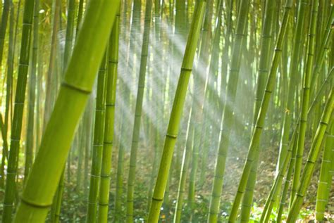 Decorating Ideas For Kitchen - bamboo removal eradicating bamboo without herbicides