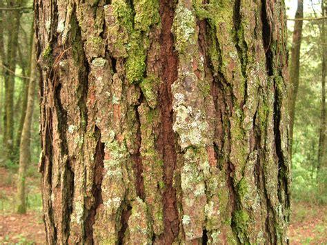 bark of a pine tree in tecp 225 n