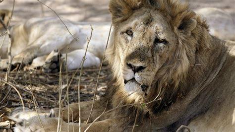 indias asiatic lions dying  gir gujarat