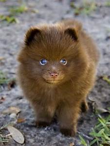 Chocolate Pomeranian | Puppies | Pinterest