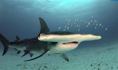 hammerhead shark facts    learning