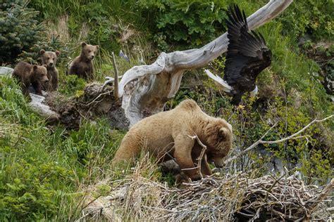 Eagles Bears katmai national park drama bear  eagles anchorage 1200 x 800 · jpeg