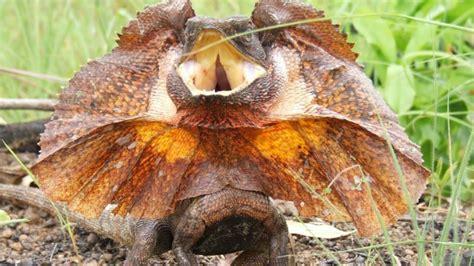 lizard bling colour  act  social cue