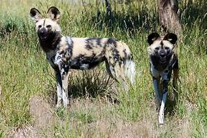 Amazing Animals Pictures: The African wild dog, The Lycaon ...