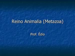 Reino Animalia (Metazoa)