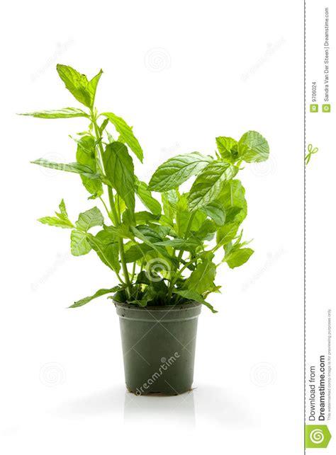 mint plant  pot stock photo image  taste freh food