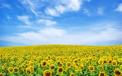 images of landscape sunflower landscape 4185688 1920x1200 all for desktop