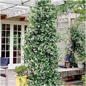 Rankpflanzen Winterhart Immergrün : sternjasmin immergr n climbing plants rankpflanzen ~ A.2002-acura-tl-radio.info Haus und Dekorationen