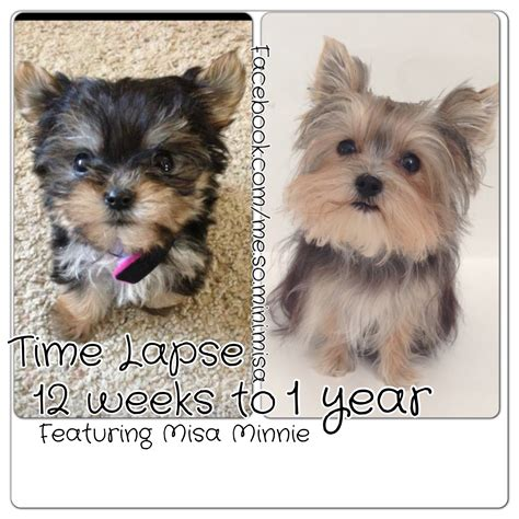 Time Lapse Puppy 12 Weeks To 1 Year Cute Yorkie Misa