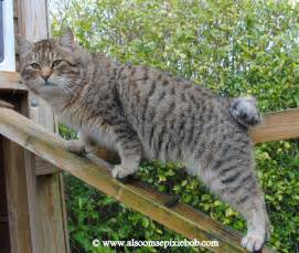 pixie bob cat pixie bob cats qgc raindance of alsoomse all grown up