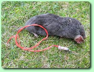 Comment Tuer Un Rat : comment exterminer les rats comment se d barrasser des ~ Mglfilm.com Idées de Décoration