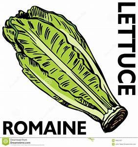 Romaine Lettuce Royalty Free Stock Photography - Image ...