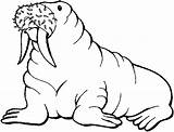 Walrus Coloring Pages Printable sketch template
