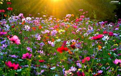 Flowers Meadow Cosmos Sun Rays Wallpapers Flower