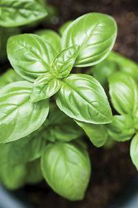What U2019s Wrong With My Herbs  Growing Basil Tips