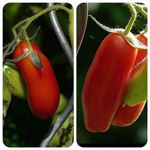Zimmerpflanzen Alte Sorten : heidi rote flaschentomate aromatische tomate vom san ~ Michelbontemps.com Haus und Dekorationen