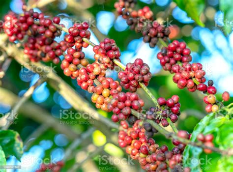 Coffee harvesting photos and images. Coffee Tree In Harvest With Lots Of Ripe Seeds On Branches Stock Photo - Download Image Now - iStock