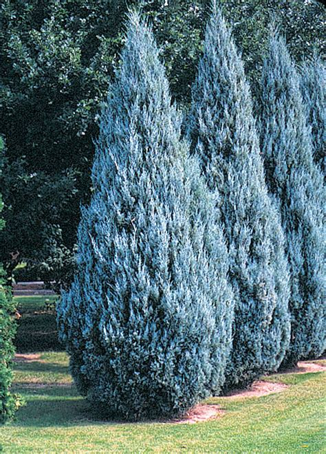 blue juniper conifers product categories j c bakker nurseries page 2