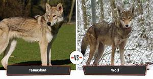 Dogs That Look Like Wolves   22 Dogs That Have A Lupine Look