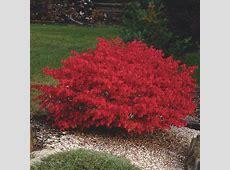 Burning Bush Euonymus alatus My Garden Life