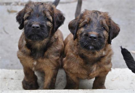 Briard Puppies For Sale Akc Puppyfinder