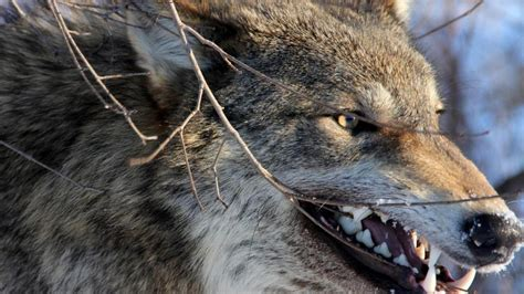 Angry Wolf Wallpaper Hd 1080p by Angry Wallpaper Hd On Wallpaperget
