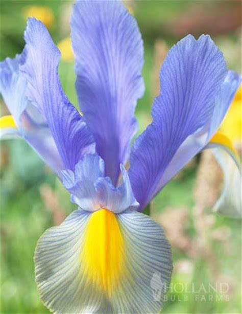 57 best images about fritillaria and iris reticulata on
