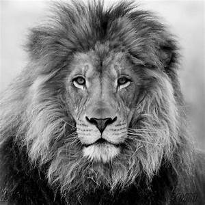 Lion Wallpaper Black and White - WallpaperSafari