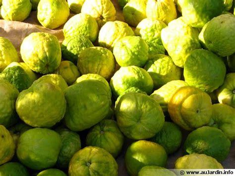 cuisiner le gibier cédratier citrus medica conseils de culture