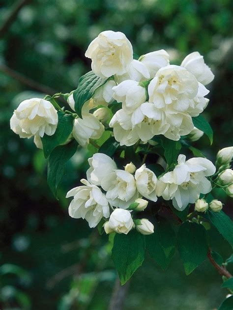 The 25+ Best Mock Orange Shrub Ideas On Pinterest Mock