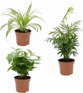 Palmen Kaufen Baumarkt : dominik zimmerpflanze palmen set h he 15 cm 3 pflanzen online kaufen otto ~ Orissabook.com Haus und Dekorationen