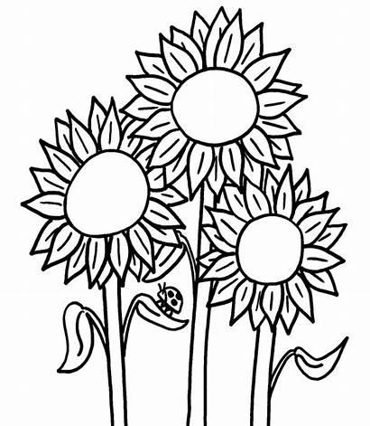 Bunga Mewarnai Gambar Matahari Crayon Dengan Belajarmewarnai